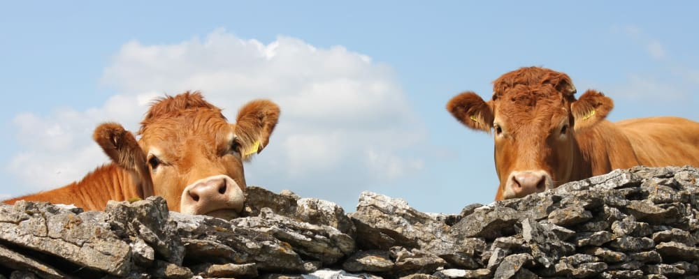 Devon red cows look over a wall